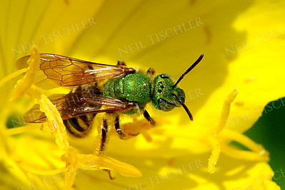 #631  Virescent Green Metallic Bee