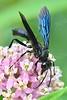 1415  Great Black Wasp on milkweed