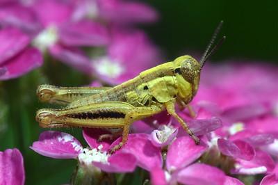 #1479  Grasshopper