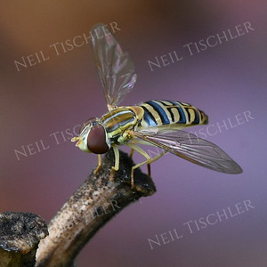 1390  Toxomerus Hover Fly