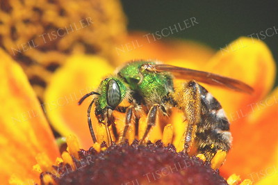 #698  Virescent Green Metallic Bee