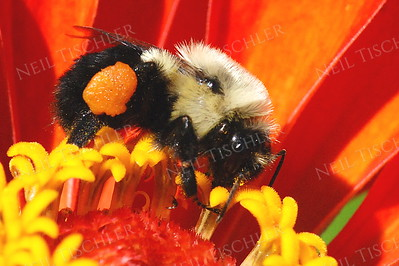 #955  Bee on Zinnia