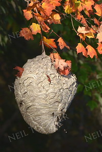 #1124  Bald-faced Hornet Nest
