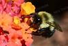 #1162  Bumblebee on Lantana