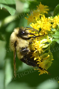 #1106  Bee on Goldenrod