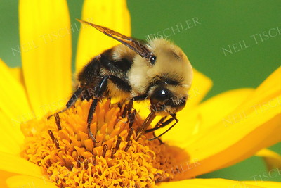 #781  Bee on Jerusalem Artichoke