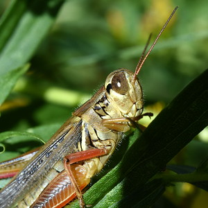 #1514  Grasshopper portrait
