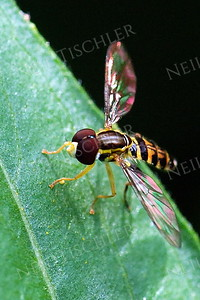 #921  Toxomerus Hover Fly