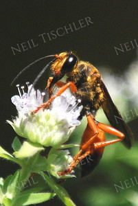 #991  Great Golden Digger Wasp on mint