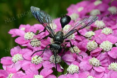 1381  Great Black Wasp on pink yarrow