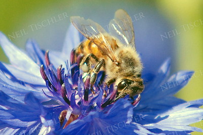 #606  Honey Bee on Bachelor Button