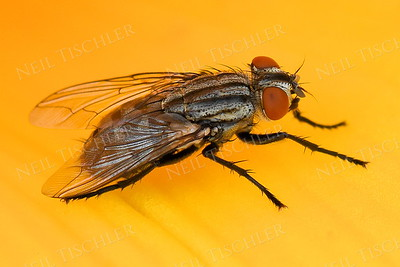 1402  Bottle Fly