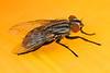 1402  Bottle Fly