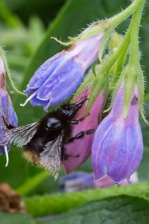 Jordhumle suger nektar gennem hul i blomst.