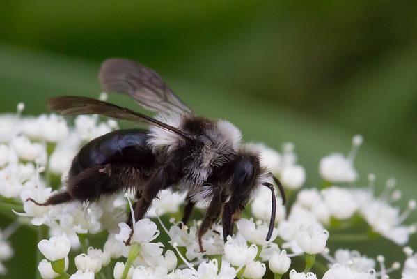 Sort hvid jordbi, Andrena cineraria