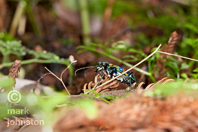 The tiger beetle is a ferocious ant hunter - fast-moving, good eyesight, and strong flyer.