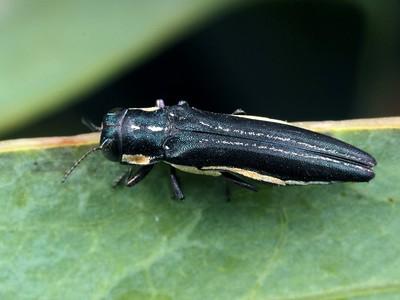 genus Agrilus