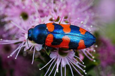 Buprestidae - Jewel Beetles