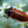 Castiarina rufipennis