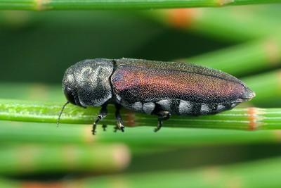 genus Dinocephalia