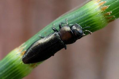 genus Germarica