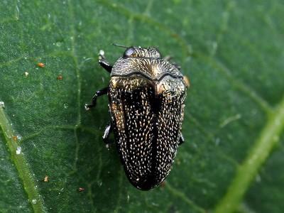 genus Habroloma