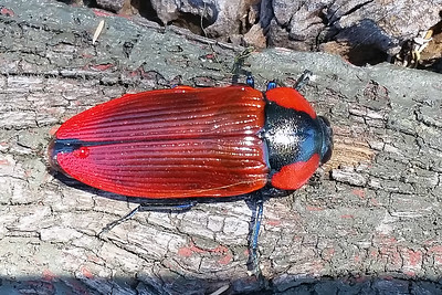 genus Temognatha