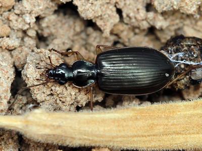 subfamily Harpalinae