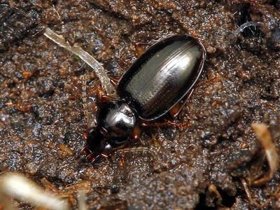 subfamily Moriomorphinae