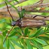 Distichocera fuliginosa