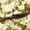 Syllitus microps