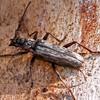 Pachydisus sp.