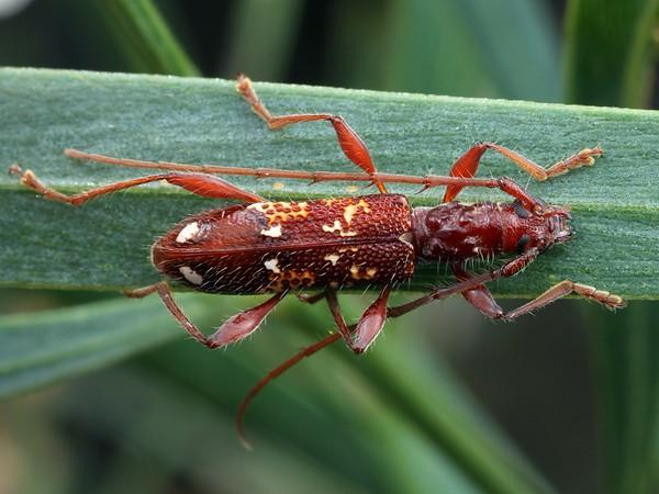 Coptocercus biguttatus