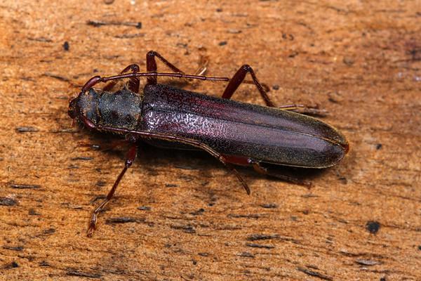 Phlyctaenodes pustulosu