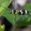 Chlorophorus curtisi