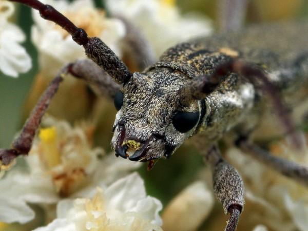 Pempsamacra pygmaea
