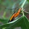 Stenoderus ostricilla