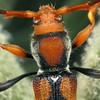 Aridaeus thoracicus