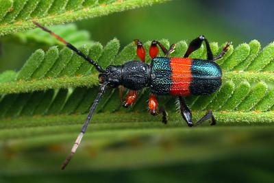 subfamily Cerambycinae
