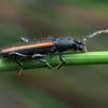 Omophaena sp. (possibly O. taeniata)