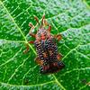 Uroplata girardi - Lantana Leafminer