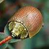Paropsis porosa