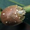 Paropsis aegrota