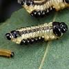 Paropsis atomaria larva