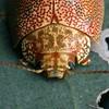 Paropsis atomaria