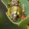 Paropsisterna agricola