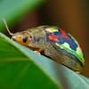 Paropsisterna gloriosa
