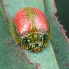 Paropsisterna fastidiosa