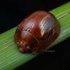 Paropsisterna sp. hectia group