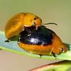 Paropsisterna cloelia
